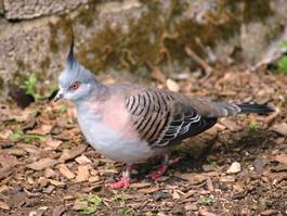 Crested Pigeon - Crested Pigeon